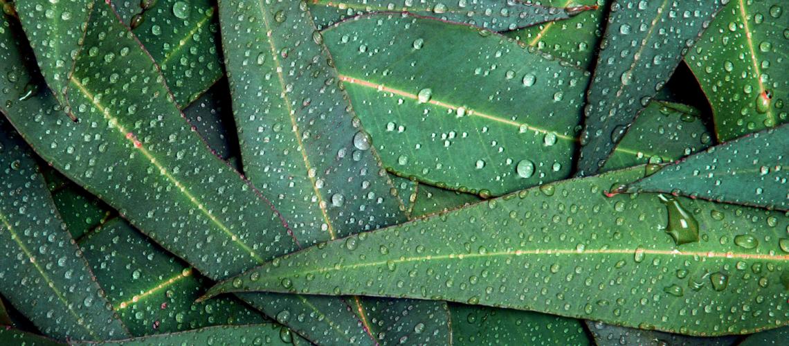Blog 14 - eucalyptus oil