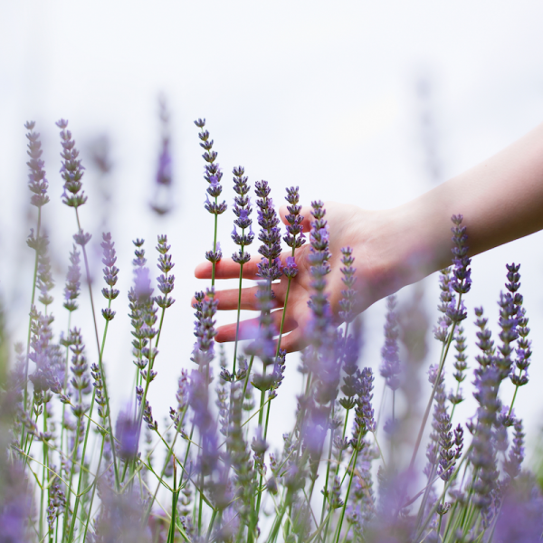 lavender farm with a lady hand-squashed